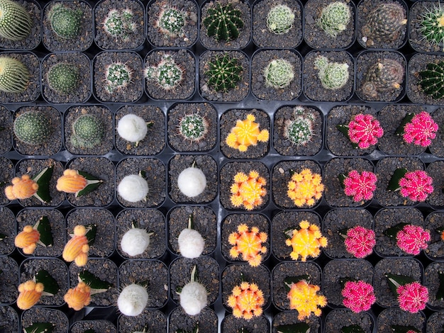 Beautiful cactus plants in pots.
