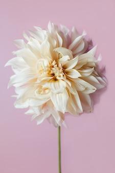 ピンクの背景に美しいカフェオレダリアの花。フラットレイ、上面図。花のコンセプト