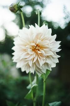 美しいカフェオレダリアの花。