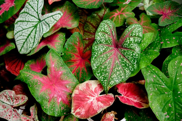 Красивый двухцветный красочный лист каладиума в саду.