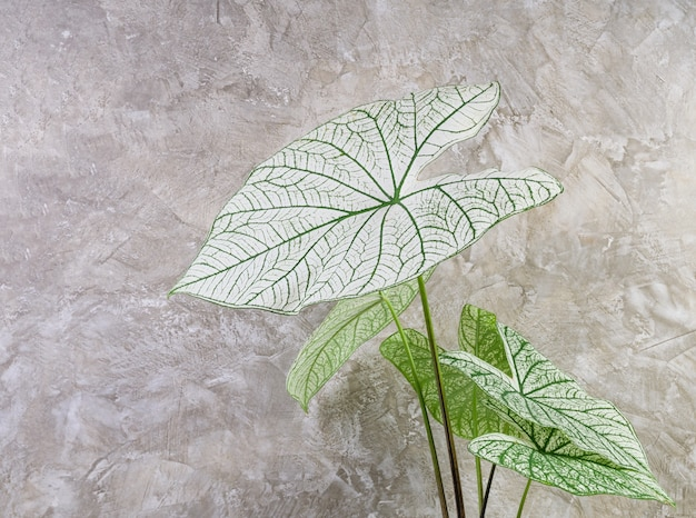 Beautiful caladium bicolor vent,araceae,angel wings green leaf houseplants  over cement wall background