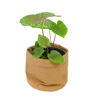 Beautiful caladium bicolor vent,araceae,angel wings houseplants  in  brown recycle paper pot isolated on white  background
