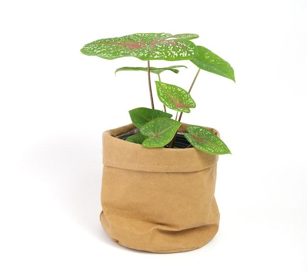 Красивые caladium bicolor vent, araceae, комнатные растения крылья ангела в коричневом переработанном бумажном горшке, изолированные на белом фоне