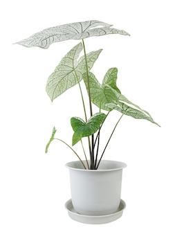 Красивые caladium bicolor vent, araceae, комнатные растения крылья ангела в современном белом горшке, изолированные на белом фоне
