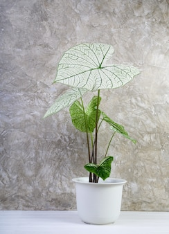 Beautiful caladium bicolor vent,araceae,angel wings houseplants  in modern white pot on white wooden floor and cement wall background