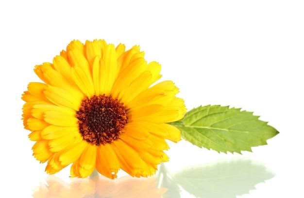 아름 다운 금 송 화 꽃, 흰색 절연