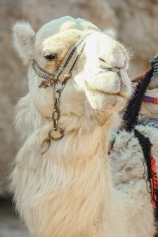 Beautiful camel on nature near the sea egypt