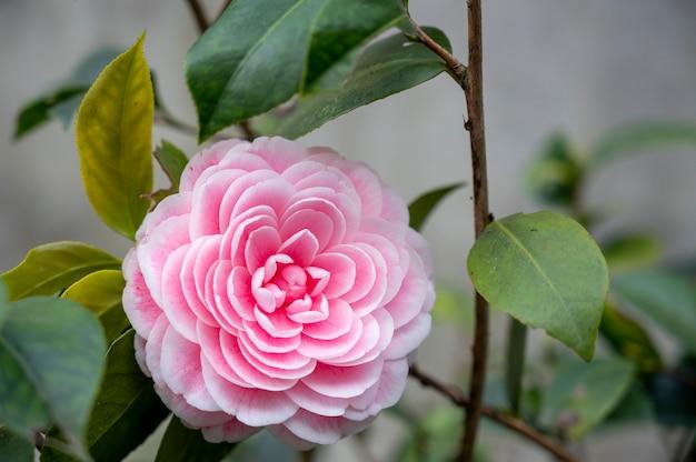 A beautiful camellia