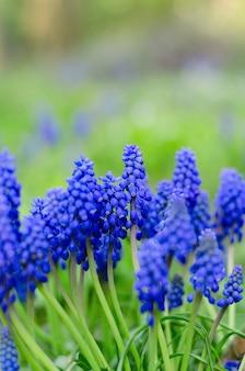 무스카리 꽃, 히아신스 가족이 있는 아름다운 카드. 봄 꽃 크리에이 티브 톤 배경입니다.