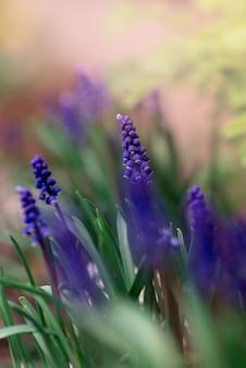 Красивая открытка с цветком мускари, семья гиацинтов, весенний цветочный творческий тонированный фон