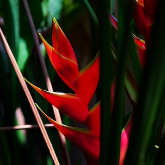 Beautiful caribbean heliconia flower
