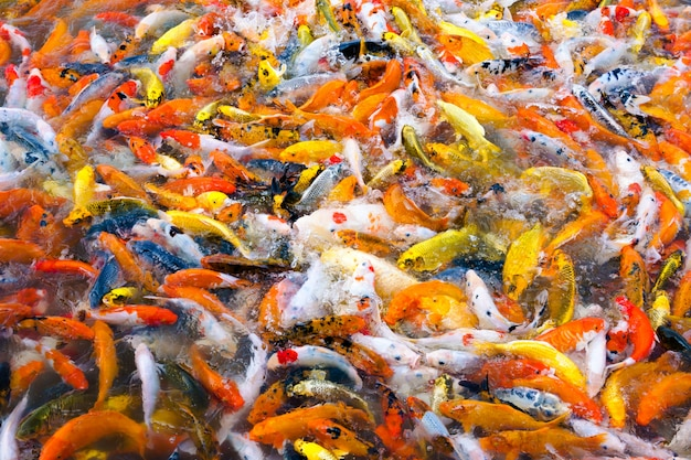 庭の池で泳ぐ美しい鯉鯉魚