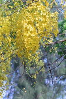 Beautiful cassia fistula flower blooming in a garden