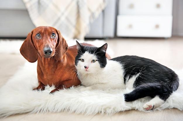 ラグの上に美しい猫とダックスフント犬、屋内