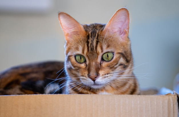 A beautiful cat climbed into a cardboard box and lay down in it.