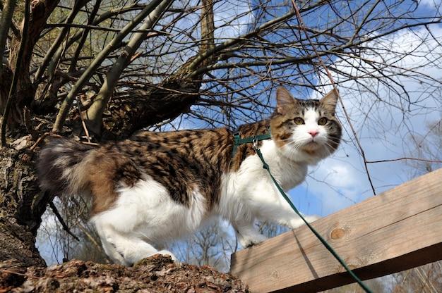 Красивый кот курильский бобтейл гуляет весной в парке на поводке
