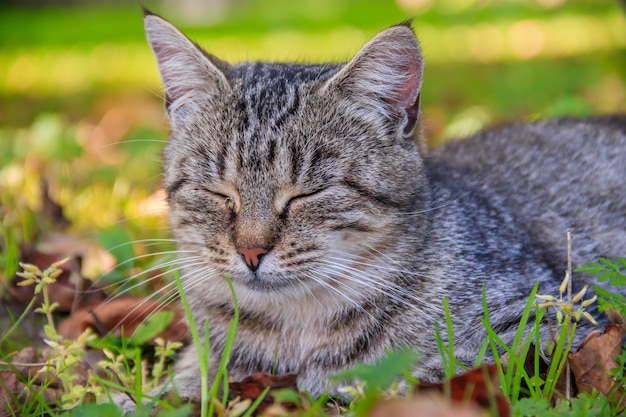 Beautiful cat lies on the grass with leaves. pet. cat for a walk