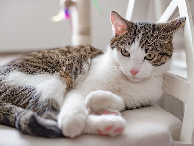 自宅の椅子に横たわっている美しい猫、テキストの場所、屋内