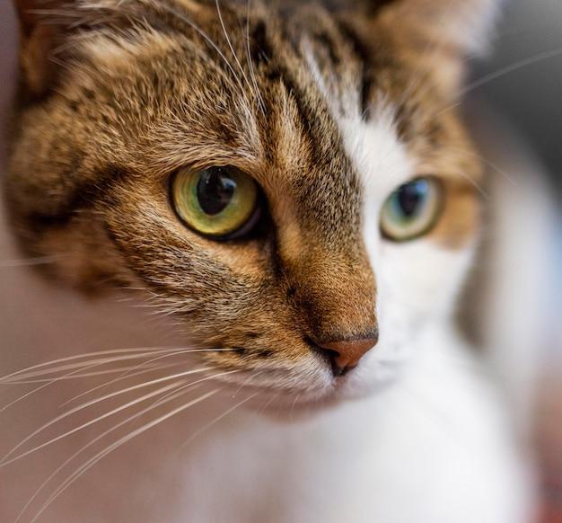 Красивая кошка с разными глазами крупным планом