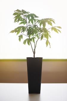 バックライト付きの実験室で黒い鍋に美しいcbd植物