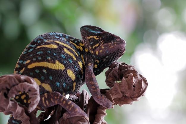 Beautiful chameleon on branch