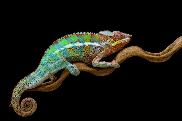 Beautiful of chameleon panther on branch with black background