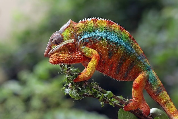 Beautiful of chameleon panther on branch