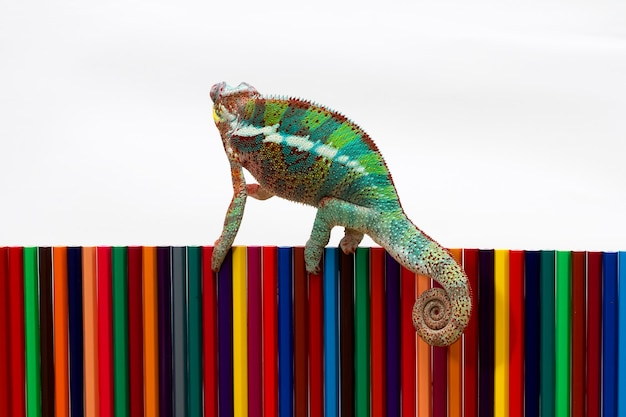 Beautiful of chameleon panther