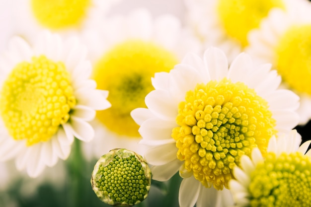 Beautiful chamomile flower and bud blooming in garden