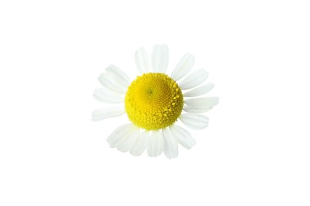 Beautiful chamomile flower isolated on white