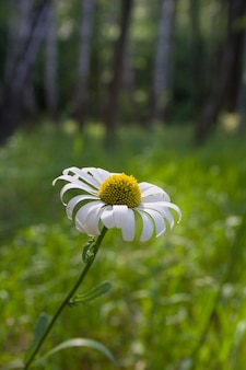 Beautiful chamomile flower with green meadow as a surface