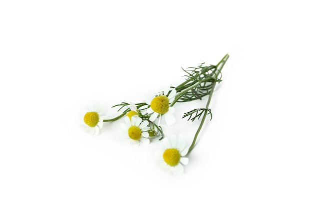 Beautiful chamomile flowers isolated on white