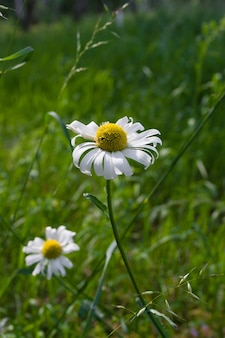 Beautiful chamomile flowers with green leaves and grass as a surface