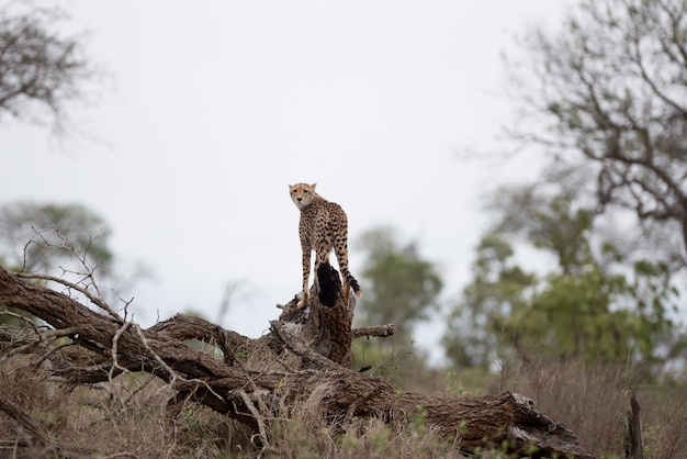 Beautiful cheetah standing on a big branch