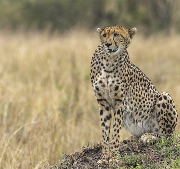 Bellissimo ghepardo in un prato secco giallo
