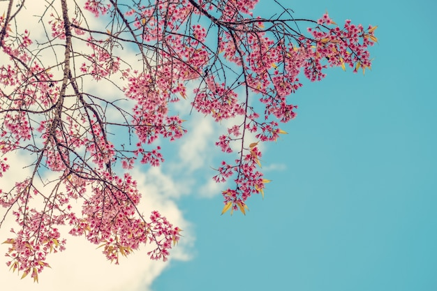 Beautiful cherry blossom flowers in spring time over blue sky. sakura tree pink flower.