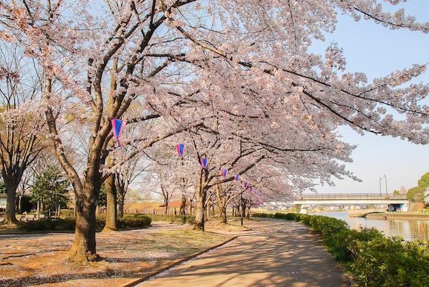 Красивое цветение сакуры в парке в городе в японии.