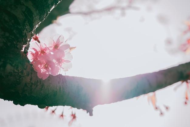 Красивая цветущая вишня в полном расцвете весной
