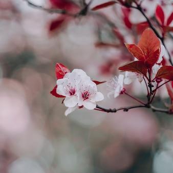 봄 시즌 사쿠라 꽃의 아름다운 벚꽃