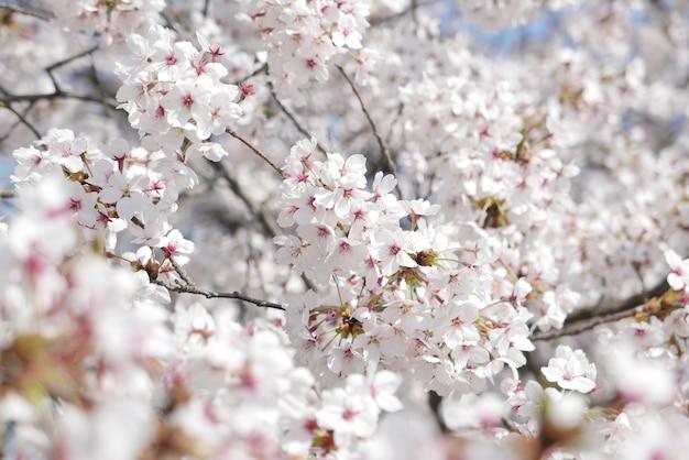 Красивое цветение сакуры весной