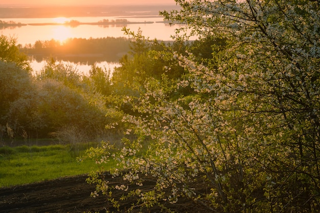 첫 번째 태양 광선을 배경으로 백라이트와 강으로 일출에 정원의 아름다운 벚꽃. 자연의 요정 심장