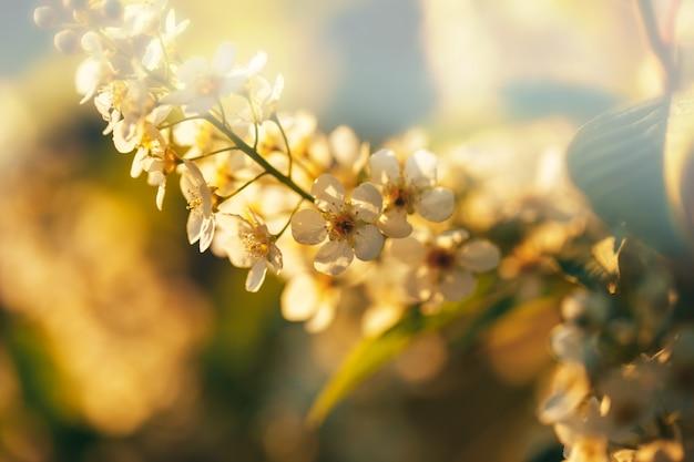 Красивый вишневый цвет, макро выстрел из белых цветов, пробуждение природы