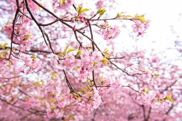 Beautiful cherry blossom in matsuda, japan