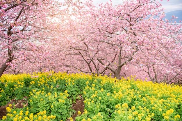 Beautiful cherry blossom in matsuda , japan