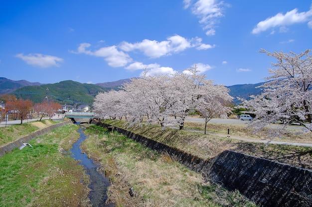 Beautiful cherry blossom or pink sakura flower tree in spring season
