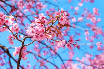 Beautiful cherry blossom, pink sakura flower with blue sky in spring.