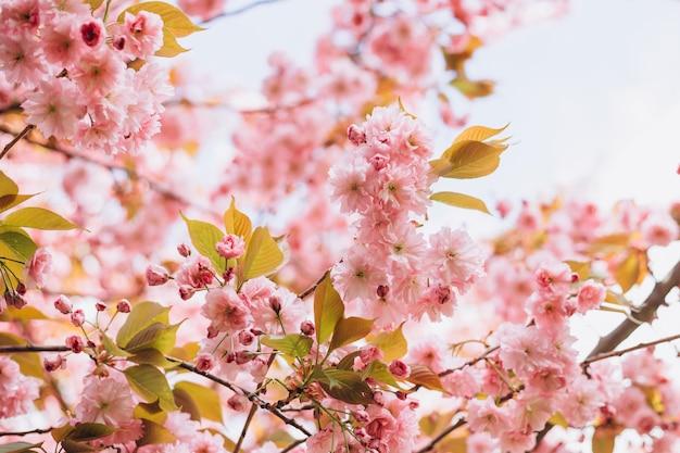 Красивая сакура сакуры в весеннее время на фоне природы. концепция ботанического сада. нежное цветение. аромат и аромат. весенний сезон. нежность. ветка сакуры. концепция парфюмерии.