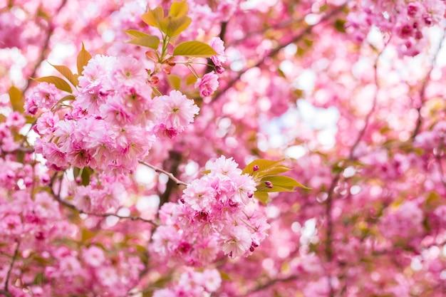 Сакура красивая вишня в весеннее время на фоне природы. концепция ботанического сада. нежное цветение. аромат и аромат. весенний сезон. нежность. ветка сакуры. концепция парфюмерии.