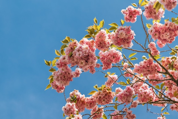푸른 하늘 위에 봄 시간에 아름 다운 벚꽃 사쿠라.