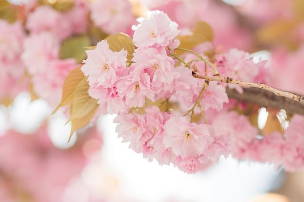 Красивая сакура сакуры в весеннее время